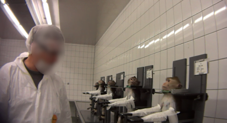 experimente animale maimute